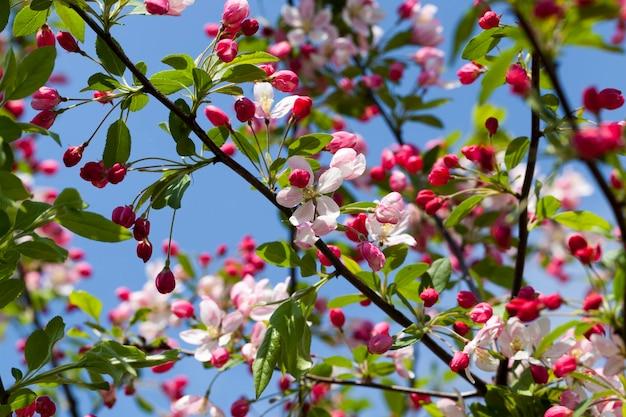 Rode kersenbloesem in het voorjaar, kersenbloesem in de boomgaard met rode bloemen Premium Foto