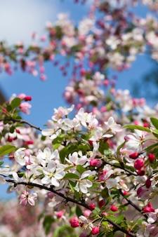 Rode kersenbloesem in het voorjaar