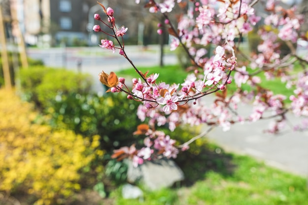 Rode kersenboomtak op de stadsstraat