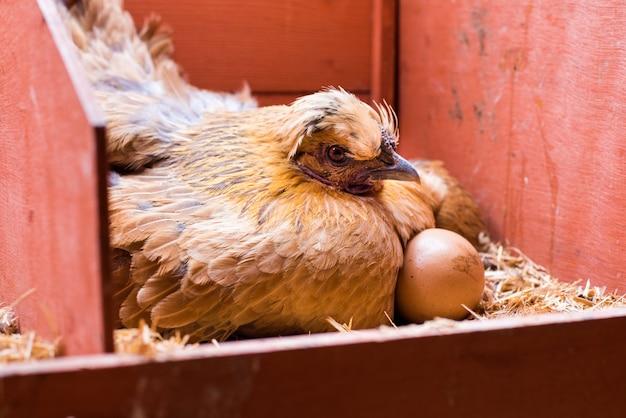Rode kip leggen met eieren in zijn kooi
