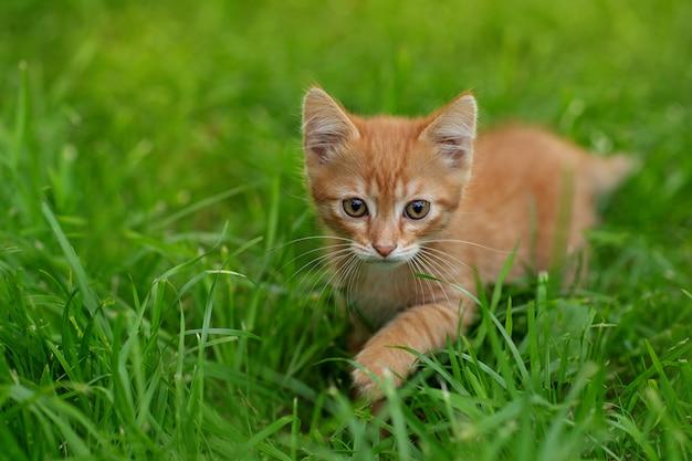 Rode kitten op het gras