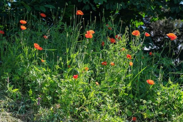 Rode klaprozen bloeien prachtig op een zonnige zomerdag close-up