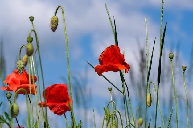 Rode klaprozen bloeien prachtig tegen de blauwe lucht op een zonnige zomerdag close-up