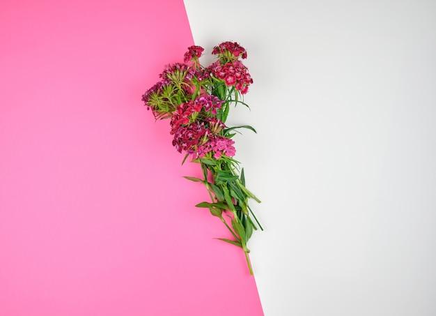 Rode knoppen bloeiende turkse anjers dianthus barbatus