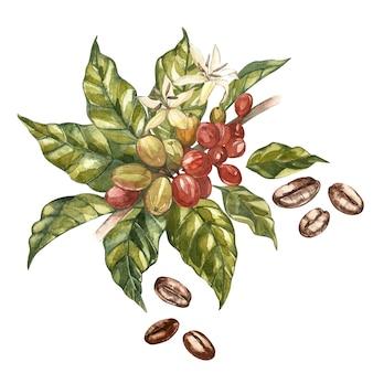 Rode koffiearabica bonen op tak met geïsoleerde bloemen, waterverfillustratie.