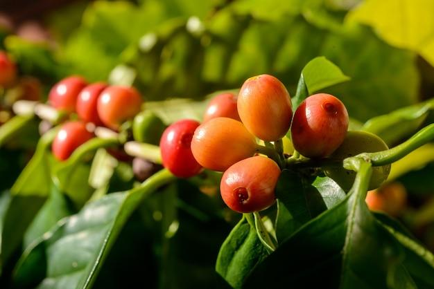 Rode koffiebessen op plant in close-up met intreepupil groene gebladerte achtergrond