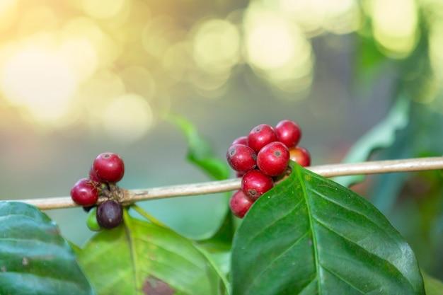 Rode koffieboonkers op tak.