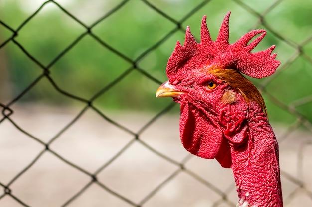 Rode kop van een haan of haan op boerenerf. landbouw concept