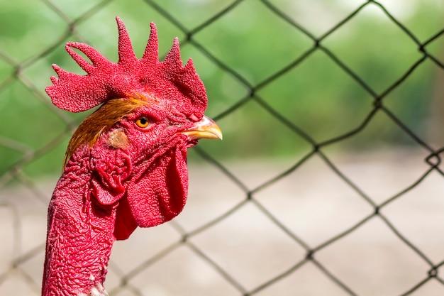 Rode kop van een haan of haan op boerenerf