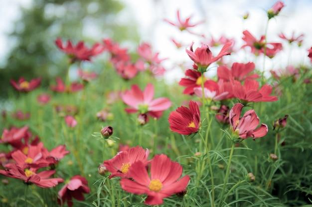 Rode kosmos bloemen in veld.