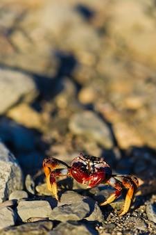Rode krab op de rots. kopie ruimte, selectieve aandacht