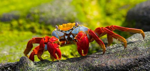 Rode krab zit op de rotsen