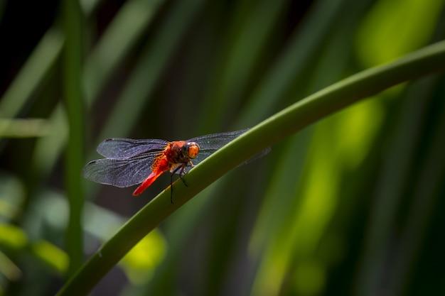 Rode libel op plant close-up
