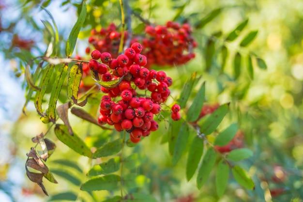 Rode lijsterbes op een tak, macrofoto met selectieve aandacht. herfst kleurrijke rode lijsterbessentak. rode rijpe lijsterbessentak. bos van oranje ashberry