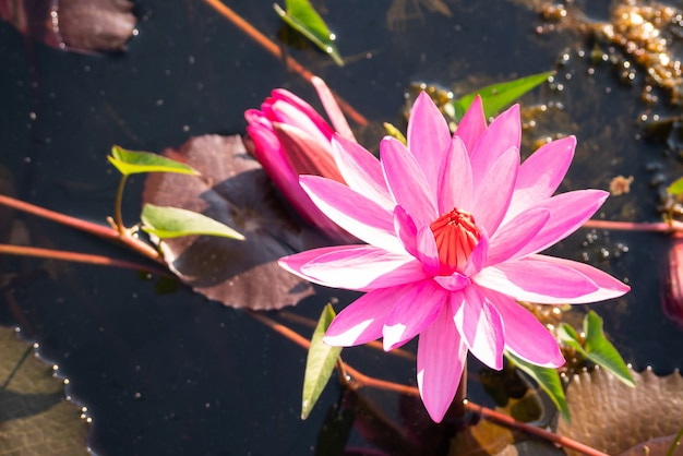 Rode lotusbloembloem die in kanaal met zonneschijn bloeit