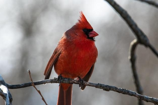 Rode mannelijke noordelijke kardinaal zittend op de tak van een boom in het bos