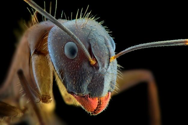 Rode mier gezicht macro