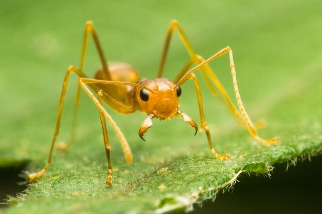 Rode mier of groene boom mier op het groene blad, gesloten, macro