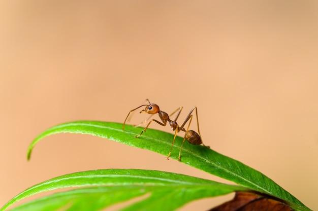 Rode mier of oecophylla smaragdina op planten in de natuur.
