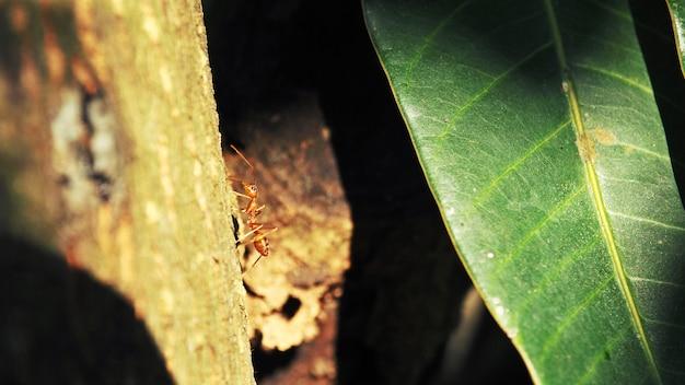Rode mier op de boom