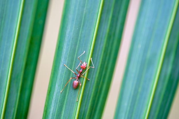 Rode mieren of vuurmieren op groen palmblad, thailand, macro, close-up