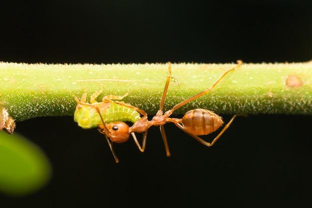Rode mieren op de takken