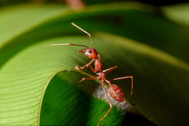 Rode mieren zijn op de bladeren in de natuur.