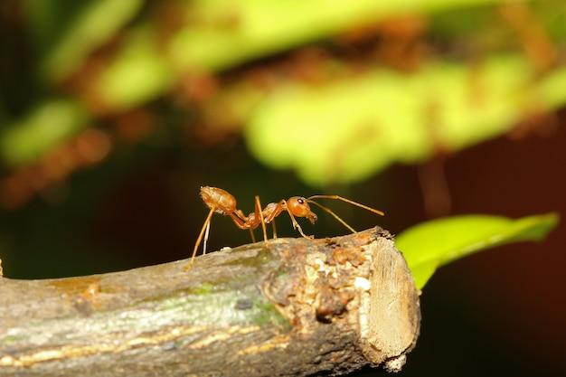 Rode mierenwacht op stokboom in aard in thailand