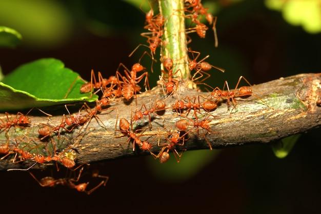 Rode miergang op boom