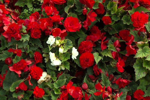 Rode mooie begonia bloemen veld textuur. sluit omhoog bloemenachtergrond.