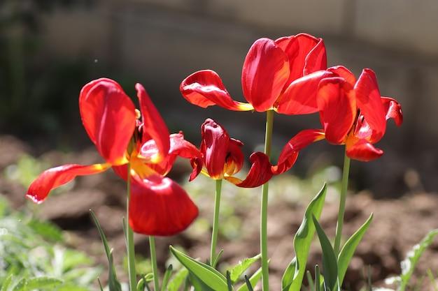 Rode mooie tulpen op een zonnige zomerdag na het drenken van waterdruppels op bloemblaadjes