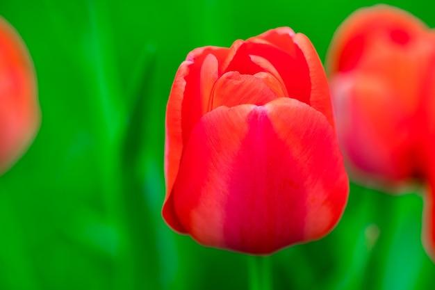 Rode mooie tulpen veld in het voorjaar met zonlicht, florale achtergrond.
