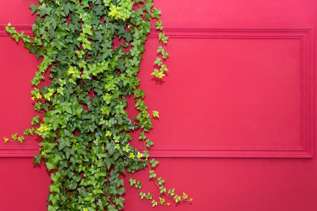 Rode muur met frame half bedekt door common ivy. ook bekend als hedera-helix, engelse klimop of europese klimop. kopieer ruimte