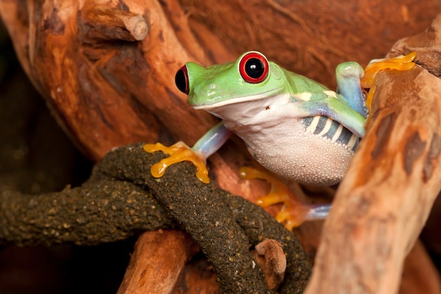 Rode ogen boomkikker zittend op de tak en kijken naar de omgeving