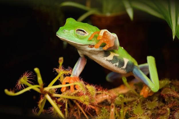 Rode ogen kikker verlangen om de gevaarlijke vleesetende plant aan te raken