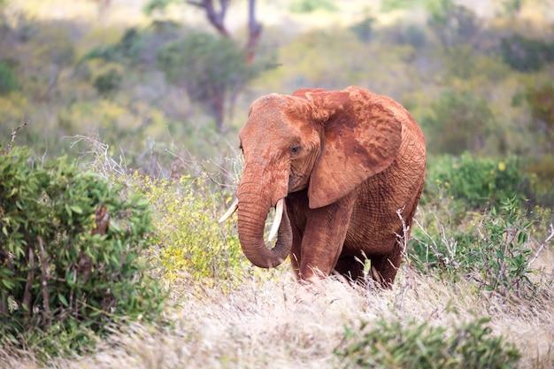 Rode olifant loopt tussen de palmbomen en bomen