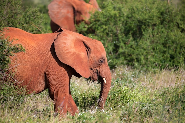 Rode olifantenfamilie die tussen de struik lopen