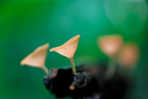 Rode paddenstoelen, roze brandkop paddestoel, tarzetta rosea (rea) dennis, pustuluria rosea rea
