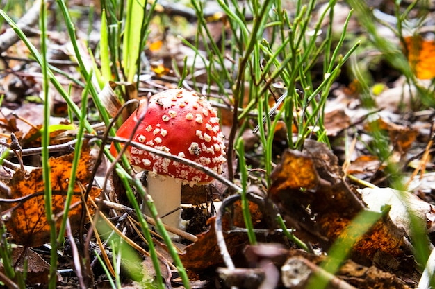Rode paddestoelpaddestoel in het bos amanita muscaria