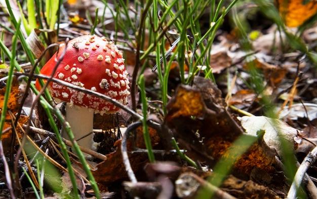 Rode paddestoelpaddestoel in het bos. psychoactieve paddenstoel met hallucinogene effecten