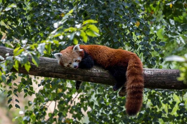 Rode panda die op een boomtak legt en van zijn luie dag geniet