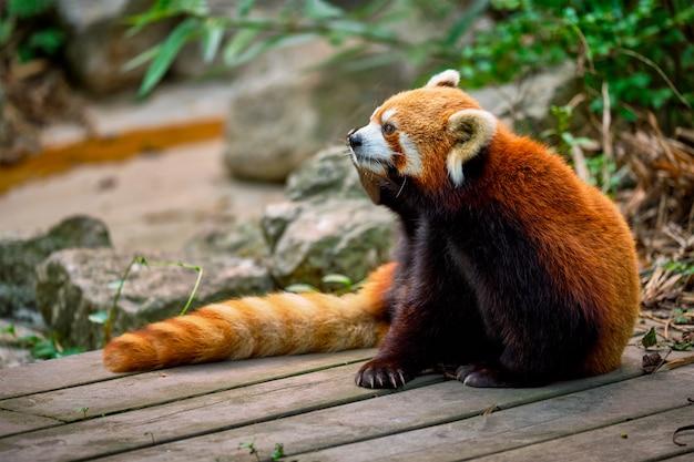 Rode panda mindere panda