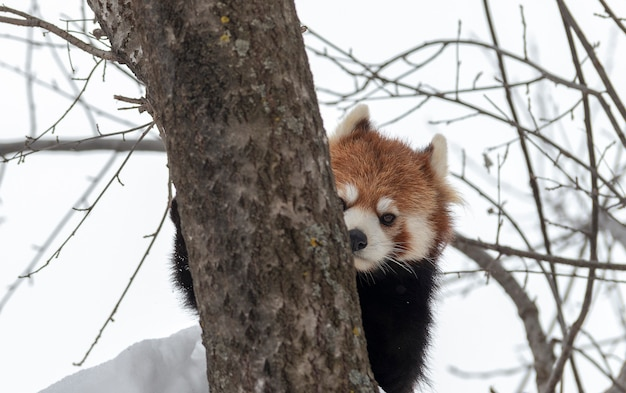 Rode panda verstopt in de sneeuw