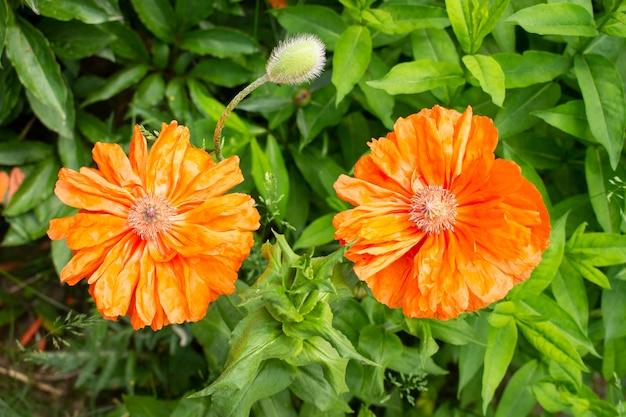 Rode papaver bloemen bloeien in de zomer in de tuin, close-up met selectieve focus. natuurlijk