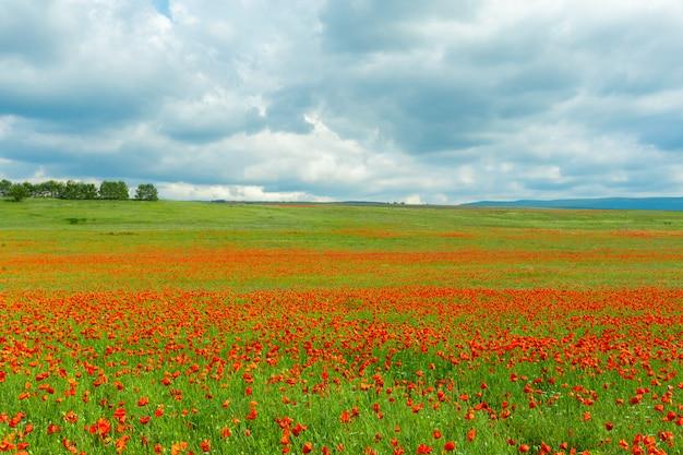 Rode papaver bloemen in een veld