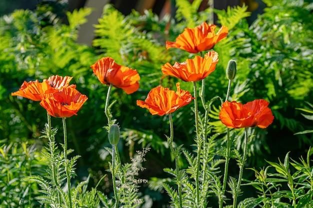 Rode papaver bloemen op het perceel van de tuin. ondiepe scherptediepte