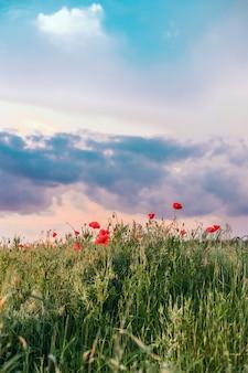 Rode papaver bloemen tegen de hemel. ondiepe scherptediepte