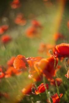 Rode papaver veld