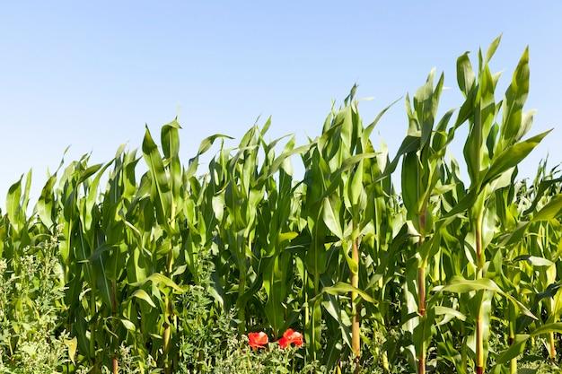 Rode papavers bloeien in de buurt van het veld waarop groene maïs groeit, zomerfoto close-up op het grondgebied van het landbouwveld