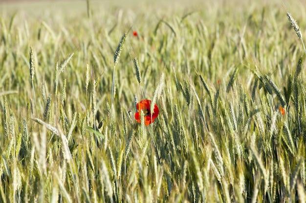 Rode papavers bloeien op landbouwgrond samen met een groene onrijpe oogst van tarwe of andere granen